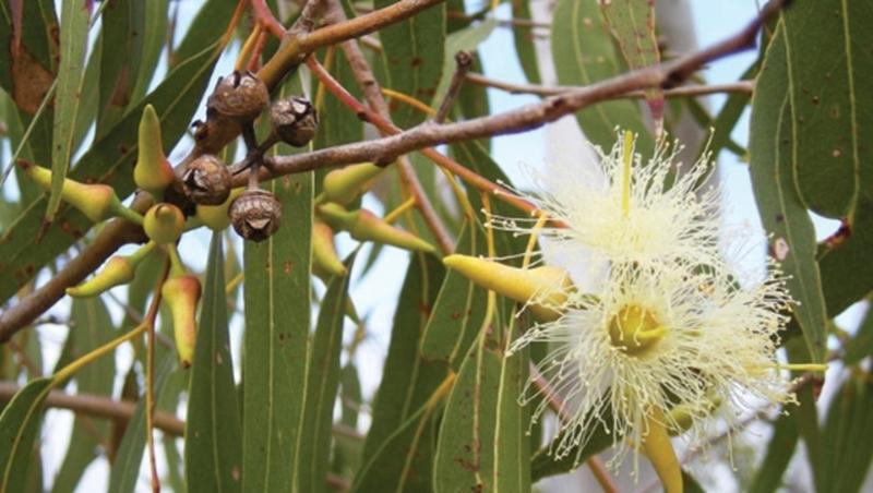 Dầu khuynh diệp được chiết xuất từ tinh dầu lá của cây bạch đàn