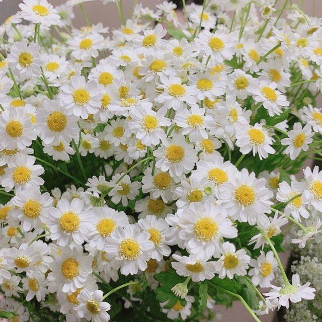 Nhụy vàng hoa cúc vị thuốc cho tóc hư tổn