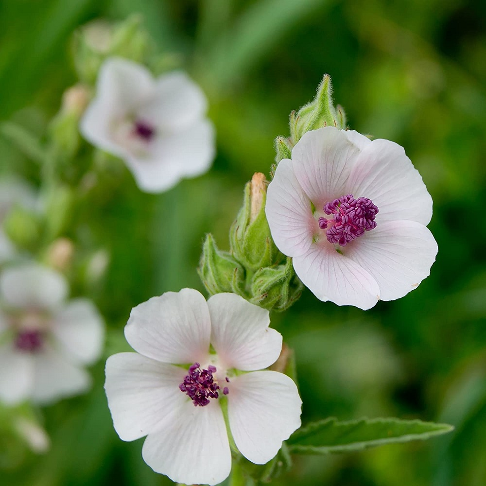 Marshmallow giúp làm ẩm da